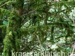 Baumbart, Baum mit Flechten